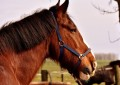shire-horse-3013502_960_720
